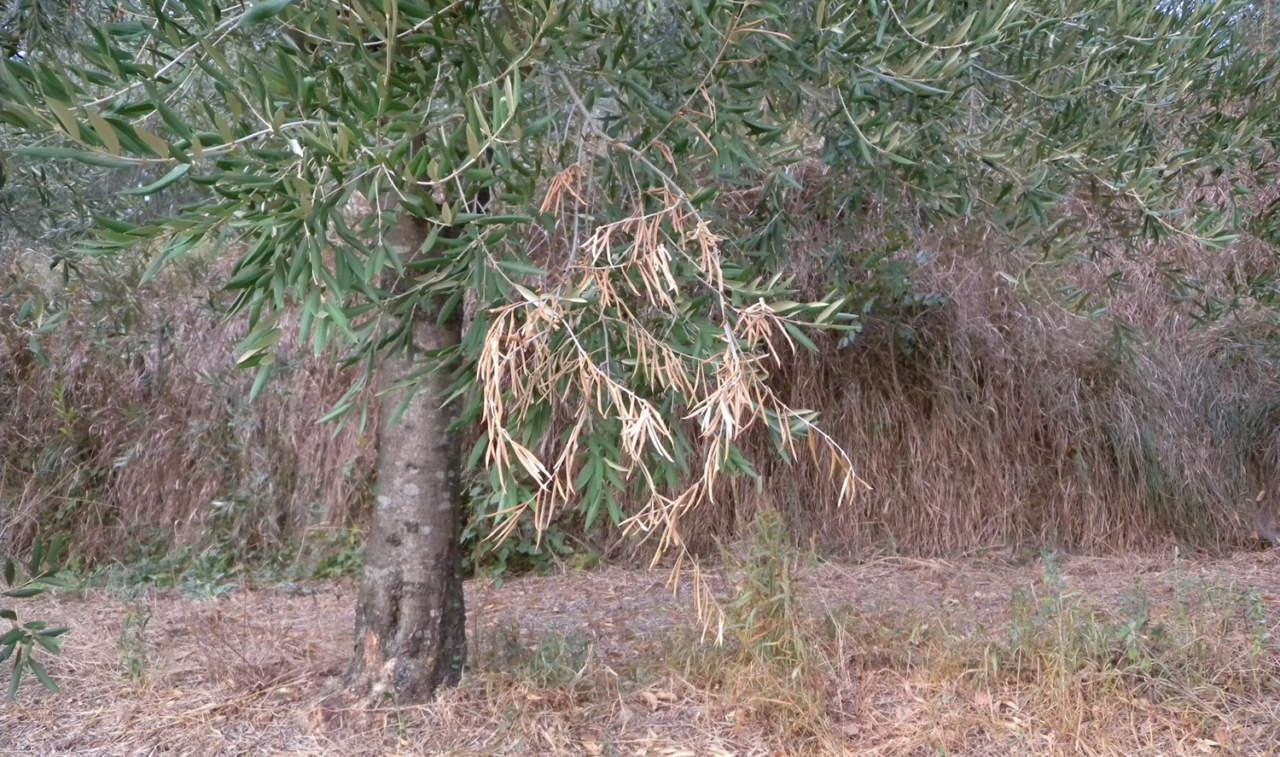 resseliella oleisuga, moscerino suggiscorza dell'olivo
