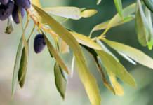 polifenoli olivo