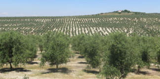 olivicoltura mediterranea