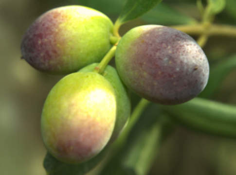 cultivar lecciana