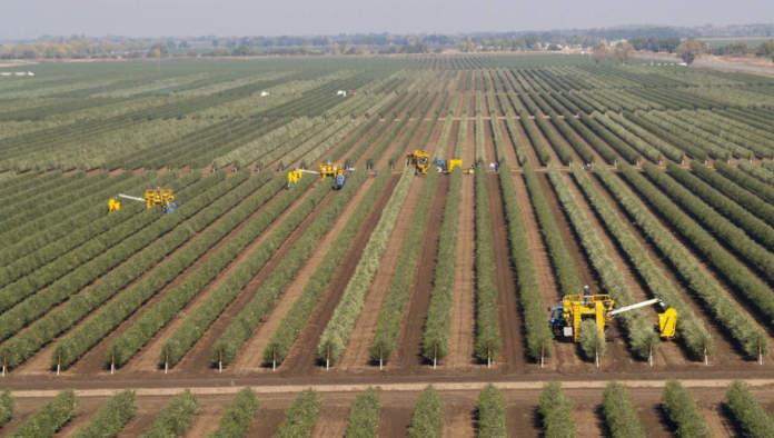 piantare olivi