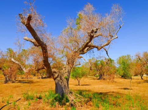 moratoria delle rate dei mutui in scadenza a sostegno degli olivicoltori pugliesi colpiti da Xylella e gelate