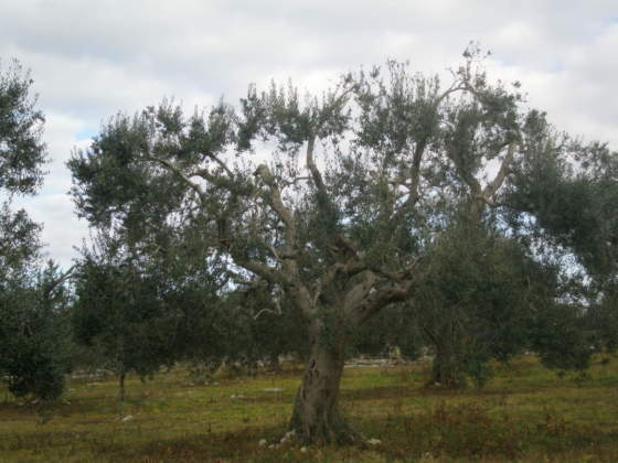 olivo allevato a vaso policonico