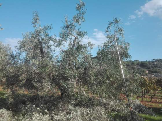 olivo allevato a vaso policonico dopo la potatura