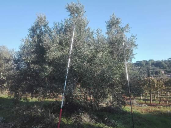 olivo allevato a vaso policonico prima della potatura