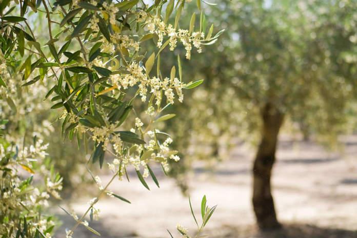 stime produttive in olivicoltura