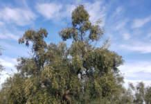 potatura olivo in allevamento a vaso policonico