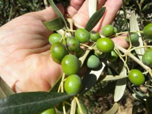 imidacloprid su olivo