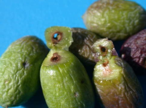 trattamenti con dimetoato contro tignola dell'olivo
