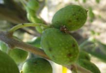 femmina di mosca delle olive