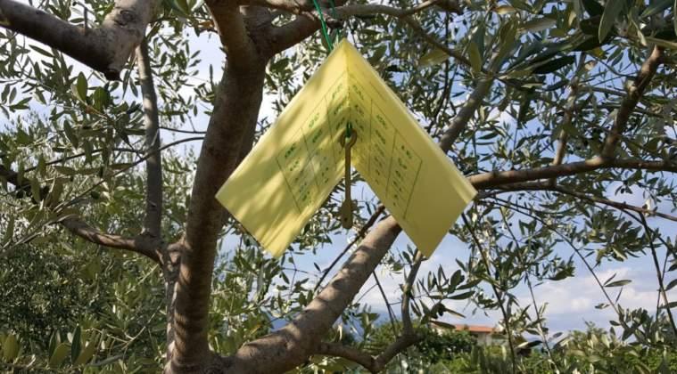 esempio di trappola a feromone per la mosca delle olive