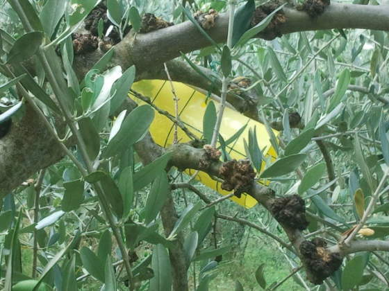 trappola cromotropica per la mosca delle olive