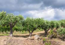 allerta incendi ed emergenza olivicola in sicilia
