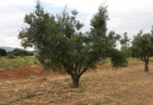 resistenza dell'olivo alle alte temperature