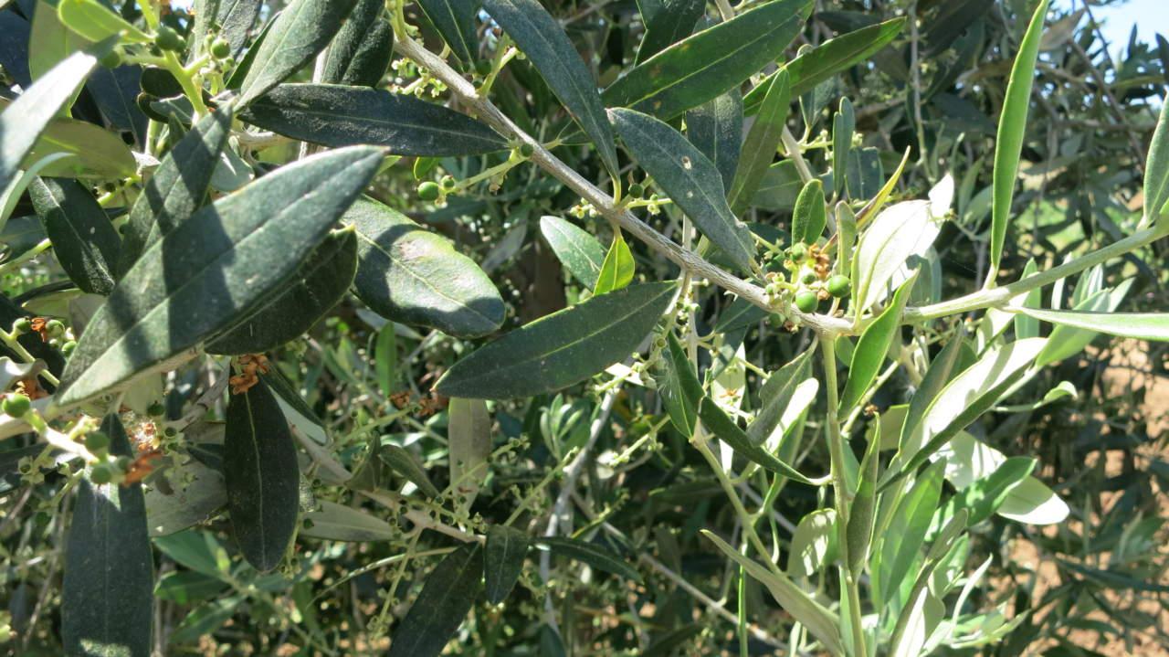effetti su foglie delle alte temperature su olivo