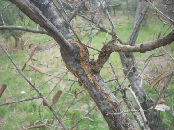 Scoppio dei tessuti per il mancato passaggio di linfa nei vasi ostruiti dalla rogna dell'olivo