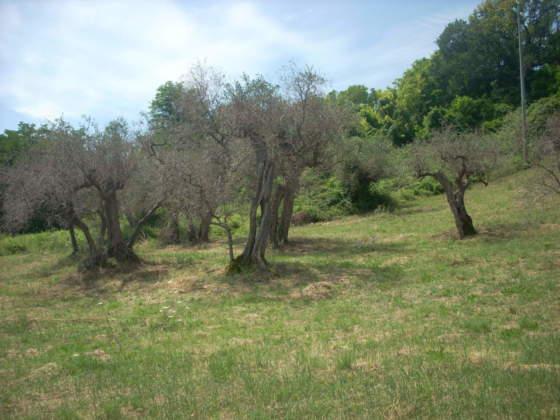 gravi disseccamenti su olivi secolari
