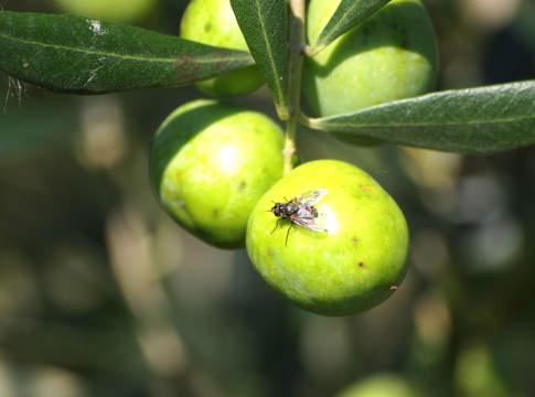 concimazione azotata su olivo