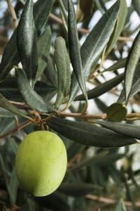 olive da mensa dop ascolana