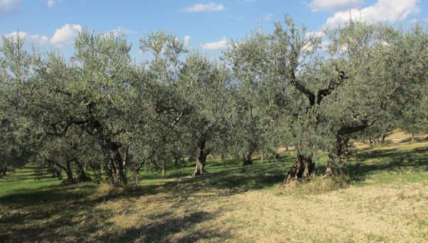 Oliveto tradizionale