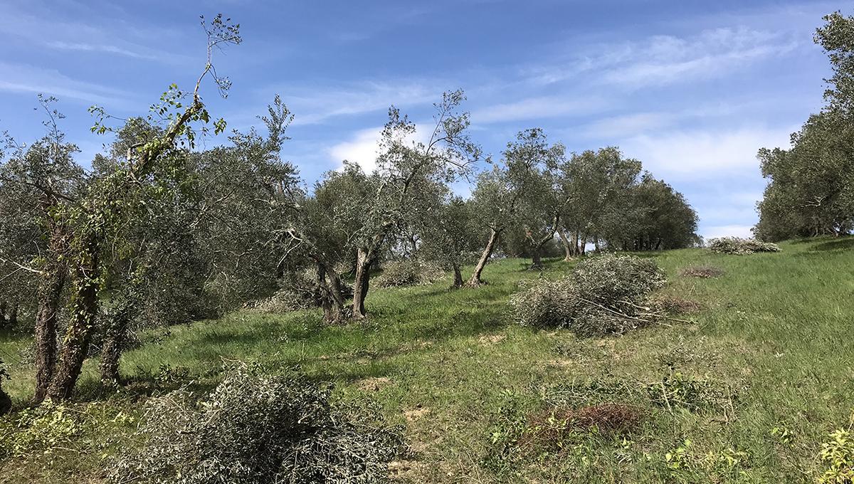 progetto molti con oliveto tradizionale