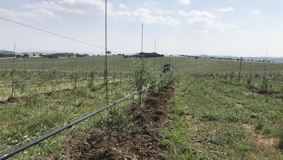 progetto molti con oliveto alta densita