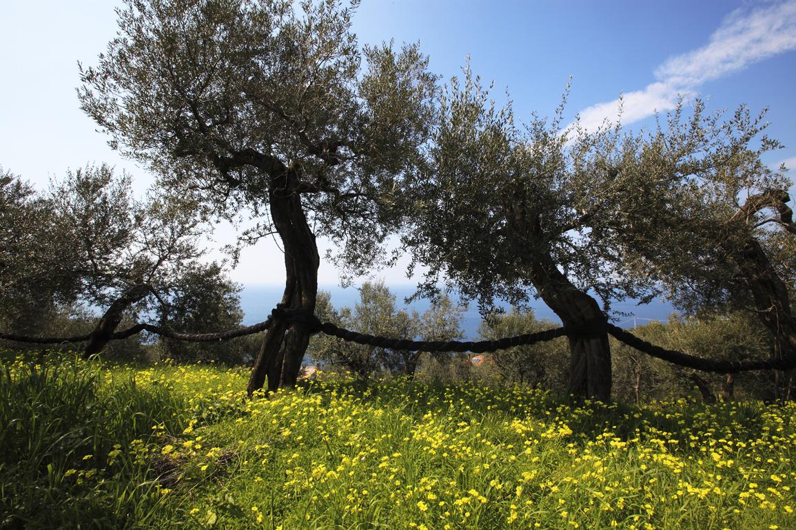 olivi autoctoni campania meridionale sorrento