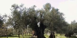 olivi autoctoni campania meridionale