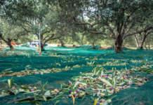 raccolta delle olive agevolata
