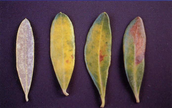 cercospora olivo