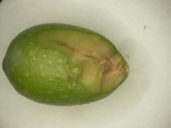 larva di prima età di mosca dell'olivo