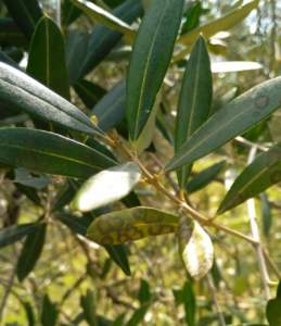 occhio di pavone su olivo