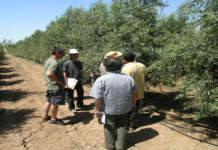 irrigazione olivo con acque reflue depurate