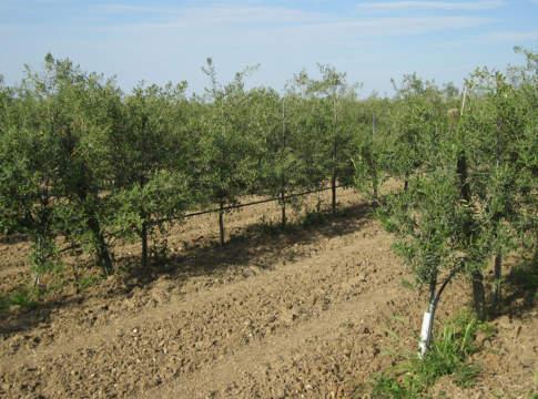 olivicoltura da reddito