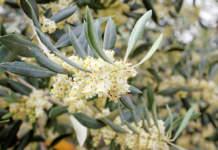 fioritura olivo genotipo