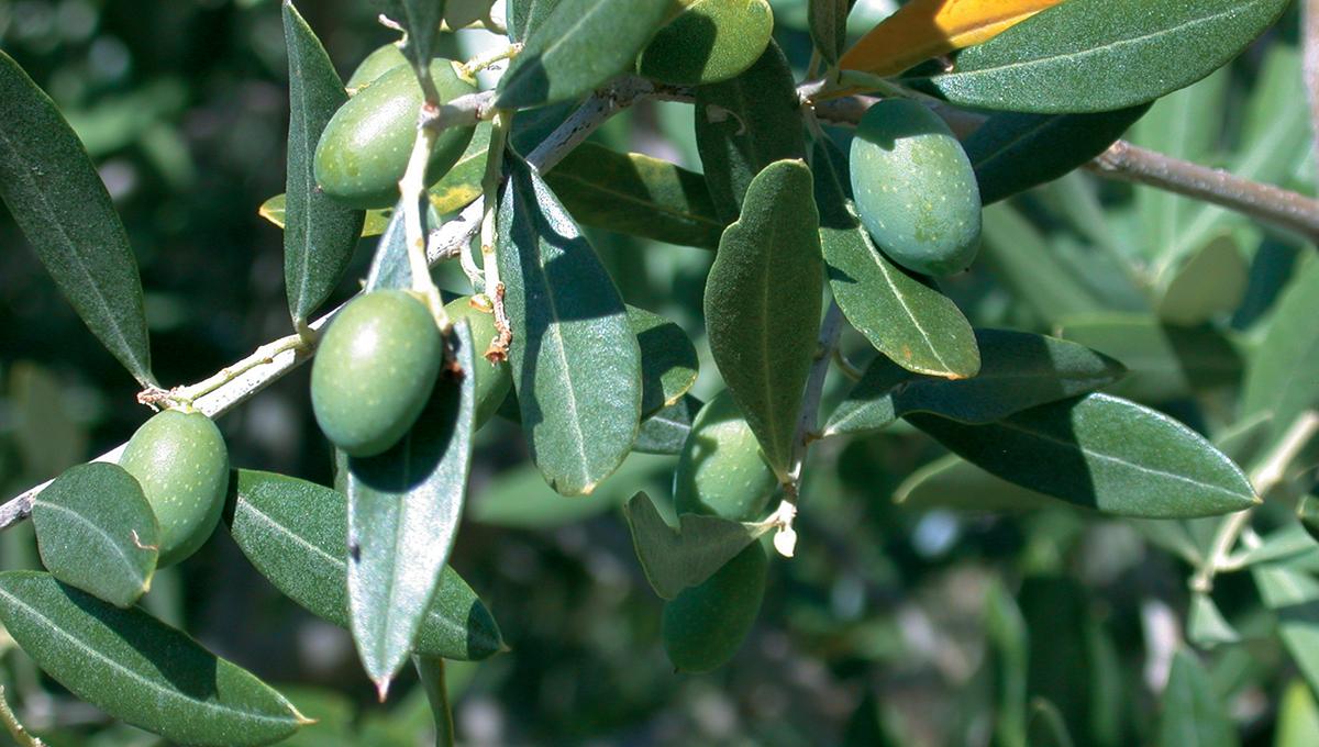 ramo di olivo