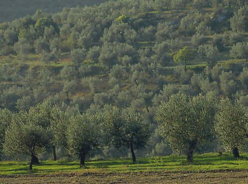 olio di qualità azienda agricola viola