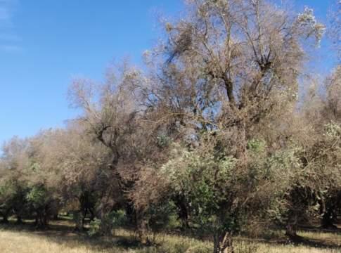 batterio xylella fastidiosa olivo