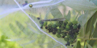 cascola verde e cimice asiatica su olivo