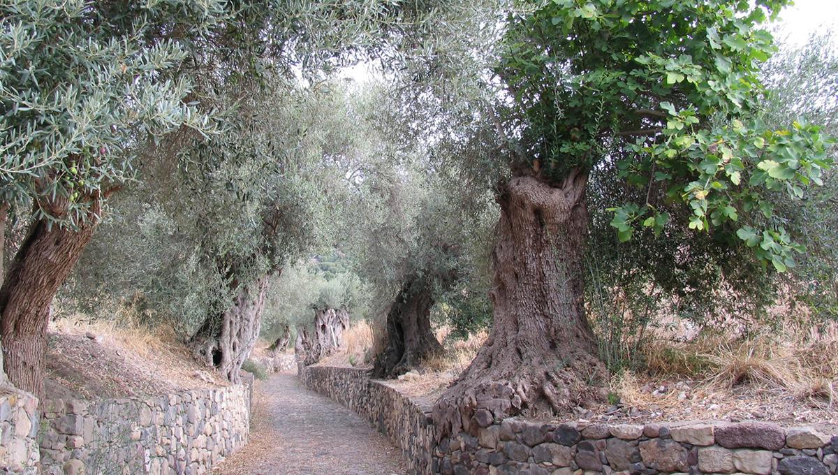 olivi comune di Genuri