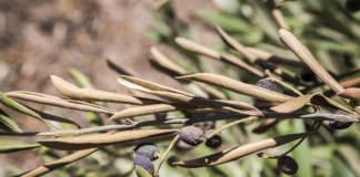 controllo della verticilliosi dell'olivo