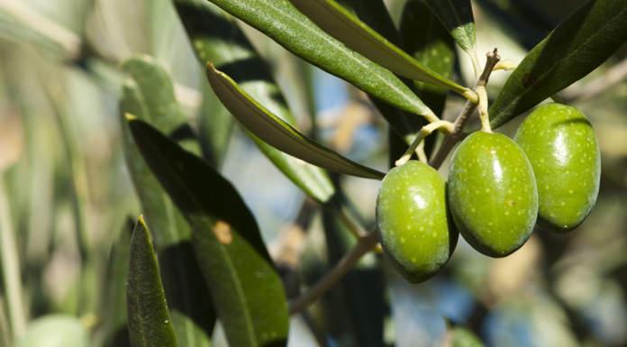 concimazione fogliare azotata olivo