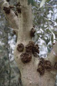 rogna olivo