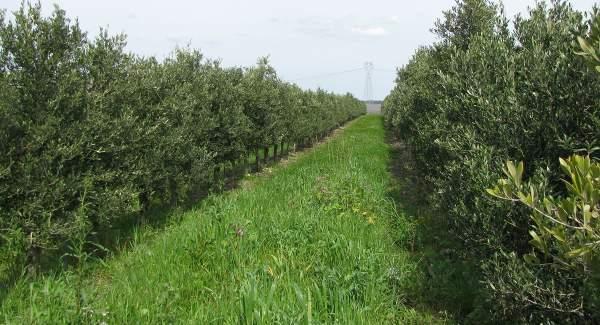 gestione integrata impianto olivicolo superintensivo