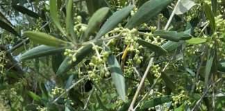 cloni cultivar olivo