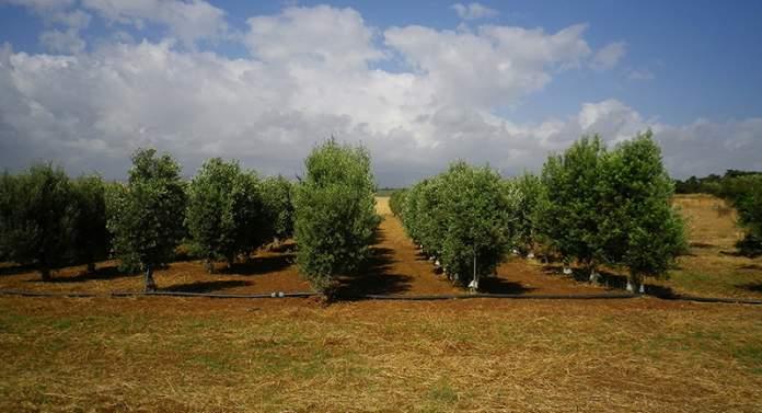 impianto olivicolo sicilia