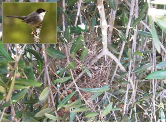 nido di Sylvia