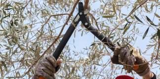 potatura olivo in sicurezza sul lavoro