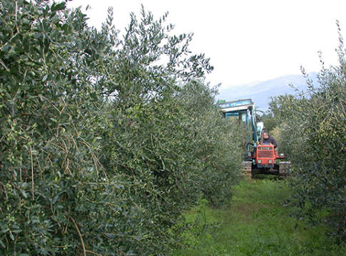 allevamento olivo a parete