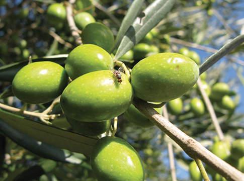 mosca olivo trattamenti